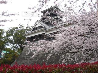 熊本城 桜の写真・画像素材[1960516]
