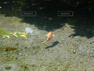 池の鯉の写真・画像素材[1961348]