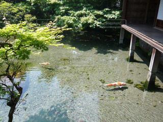 池の鯉の写真・画像素材[1961357]