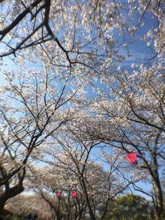 立岡自然公園の桜の写真・画像素材[1970899]