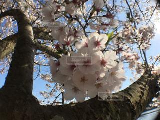立岡自然公園の桜の写真・画像素材[1970905]