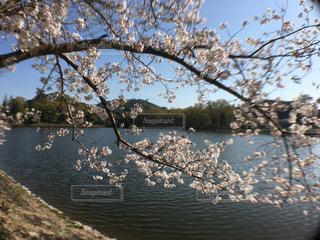 立岡自然公園の桜の写真・画像素材[1970913]
