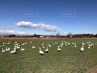水の無い畑に白鳥が飛来!の写真・画像素材[2004448]
