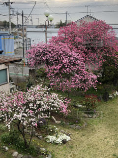 満開に咲いた花桃3種の写真・画像素材[2045684]