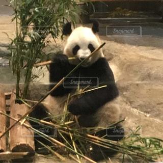 笹を食べているパンダの写真・画像素材[1963040]