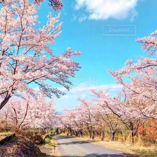 青空と桜並木の写真・画像素材[1963188]