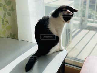ハチワレ猫の日向ぼっこの写真・画像素材[1996664]