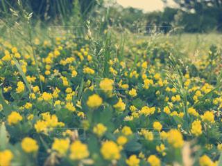 野原の黄色い花の写真・画像素材[2133340]