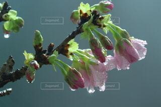 咲きかけの桜の写真・画像素材[4937599]