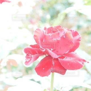 花の写真・画像素材[79634]
