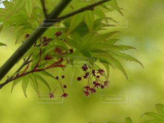 紅葉の花の写真・画像素材[1981441]