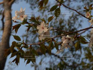 朝日に照らされる山桜の写真・画像素材[1981477]