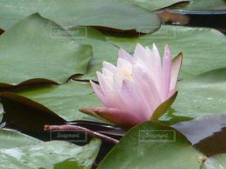 ハスの花の写真・画像素材[1984591]