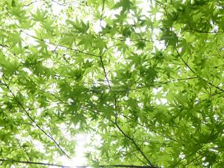 新緑の季節 青もみじの写真・画像素材[1986379]
