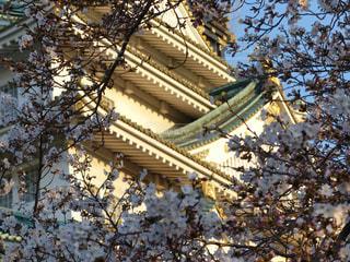 桜と夕日と大阪城の写真・画像素材[1986450]