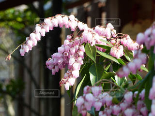 馬酔木の花の写真・画像素材[2009535]