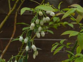 白くて小さな花弁に惹かれての写真・画像素材[2009537]