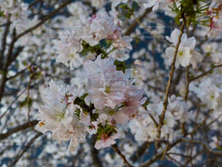 桜色のさくらの写真・画像素材[2021408]