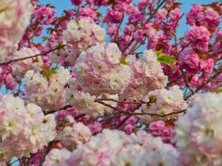 桃色八重桜の共演の写真・画像素材[2051845]