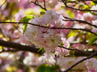 八重桜の写真・画像素材[2063634]