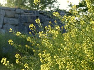 菜の花の写真・画像素材[2093297]