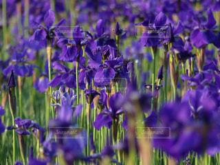 花しょうぶの写真・画像素材[2093298]