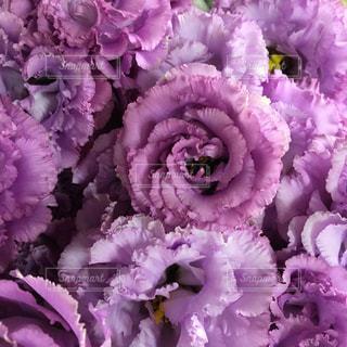 紫色の花のクローズアップの写真・画像素材[2139684]