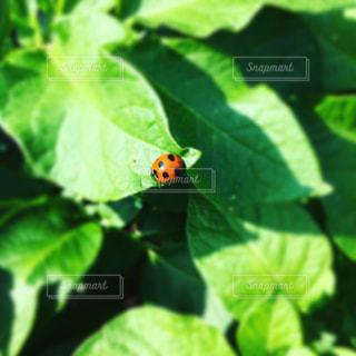 てんとう虫の写真・画像素材[2139690]