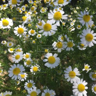 白い可愛らしい花の写真・画像素材[2139694]