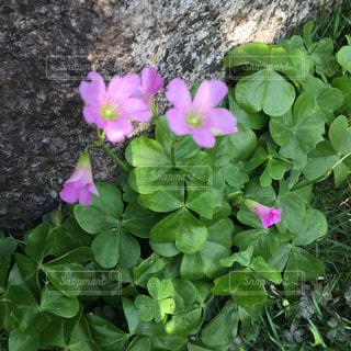 クローバーと花の写真・画像素材[2139698]