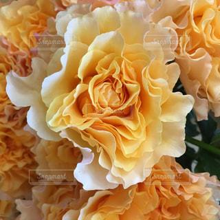 オシャレ薔薇のクローズアップの写真・画像素材[2139702]