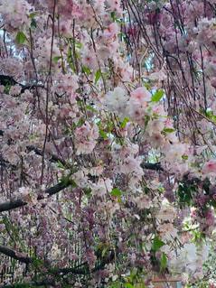 桜の写真・画像素材[2037926]