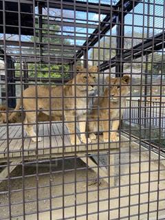 ライオンの写真・画像素材[1998081]
