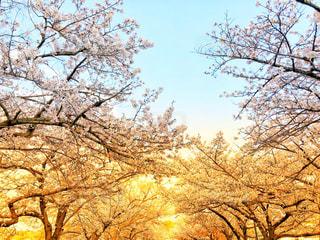 桜の木の写真・画像素材[2257676]