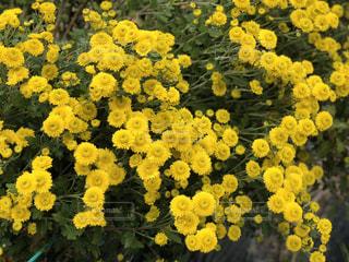 黄色い花のクローズアップの写真・画像素材[2890021]