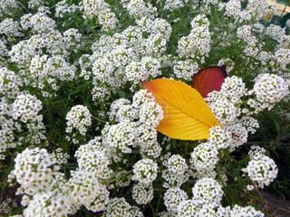 コデマリ〜小さい秋の写真・画像素材[2083557]