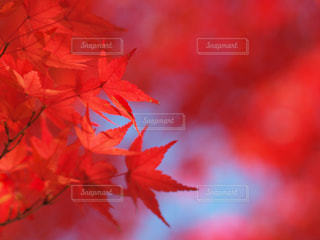 秋真っ盛り〜紅葉の写真の写真・画像素材[2724748]