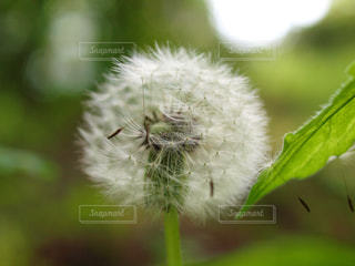 タンポポの綿毛の写真・画像素材[2755777]