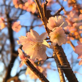 寒桜が咲いてるよの写真・画像素材[2802670]