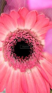ピンクの花のクローズアップの写真・画像素材[2942037]