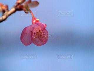 開いたばかりの寒桜のつぼみの写真・画像素材[2966427]