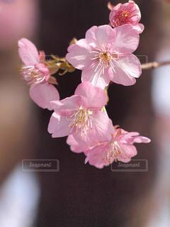 風に揺れる寒桜の写真・画像素材[2981600]
