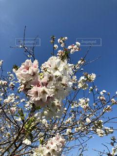 桜と青空-1の写真・画像素材[1978168]