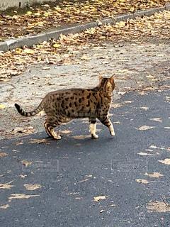 歩く猫の写真・画像素材[1978525]