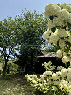 白い紫陽花と建物の写真・画像素材[2056518]