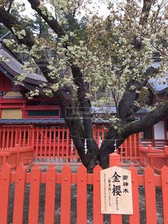 鬱金桜の写真・画像素材[2068154]