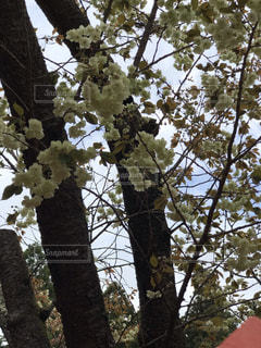 鬱金桜の写真・画像素材[2068160]