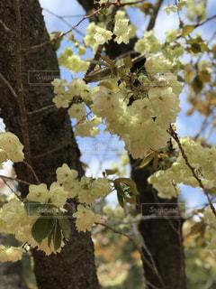 鬱金桜の写真・画像素材[2068217]