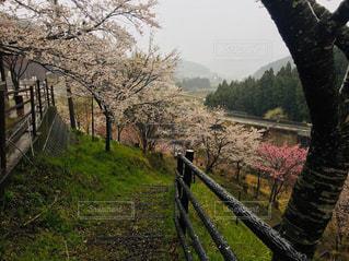 雨の桜の写真・画像素材[2034085]