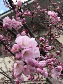 寒桜の写真・画像素材[1980310]